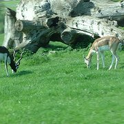 Black buck (you can tell that because the buck is black)