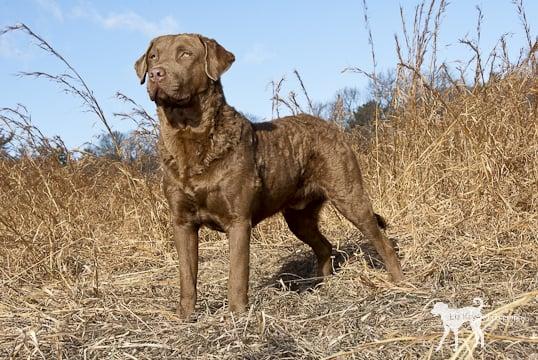 Adopted Dog Standard Poodle Montclair NJ NJ Maggie m5x eu