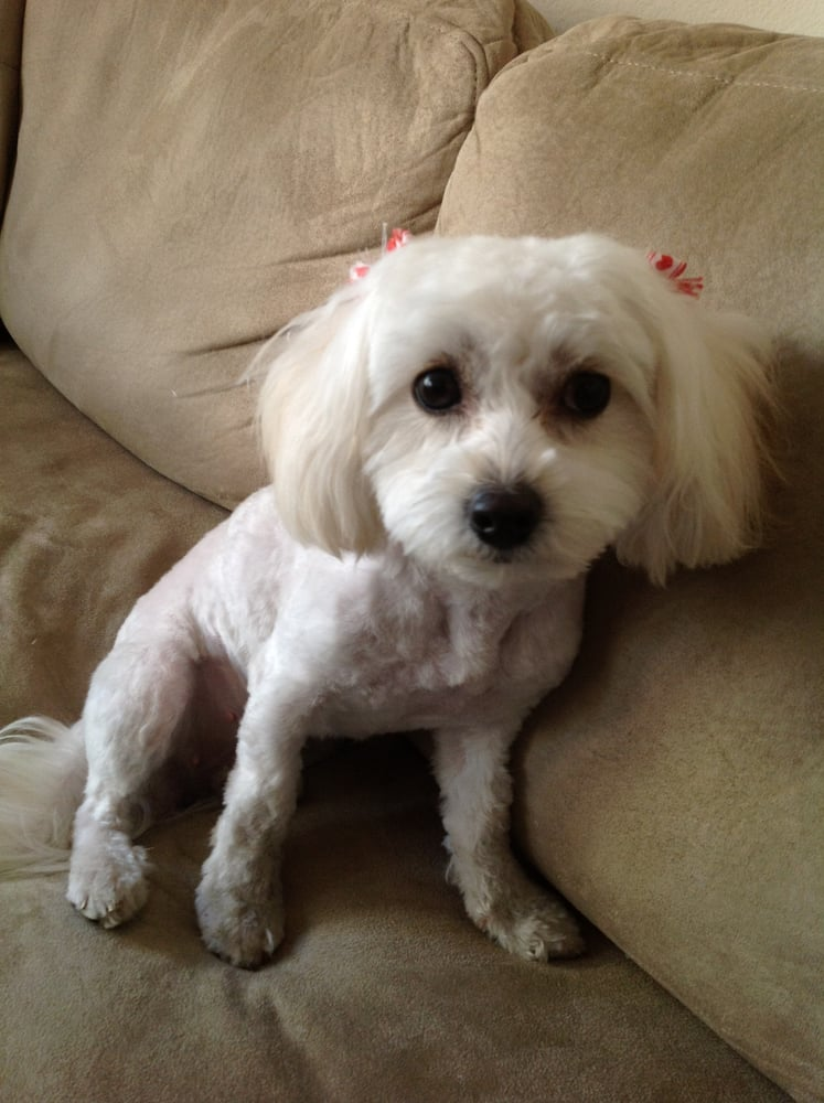 Maltipoo Haircuts Before After