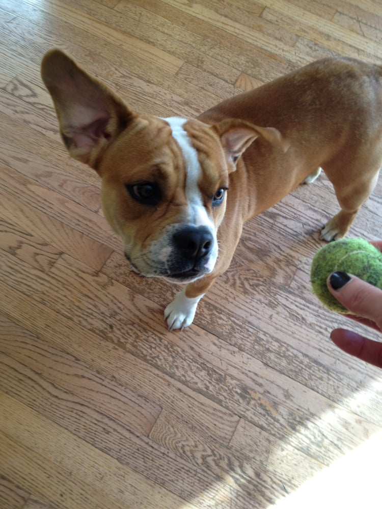 Bella, an English Bulldog/Beagle mix. How cute is she? | Yelp