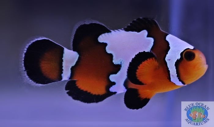 Black ice clownfish yelp
