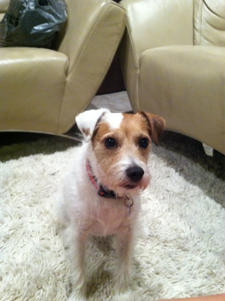 Nicely groomed long hair Jack Russell | Yelp