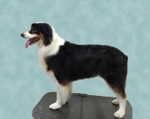 Australian shepherd haircut
